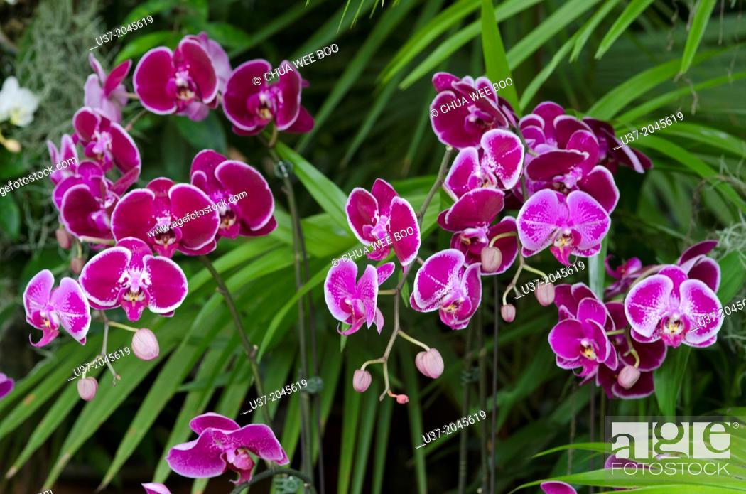 Stock Photo: Orchids. Image taken at Orchid Garden, Kuching, Sarawak, Malaysia.