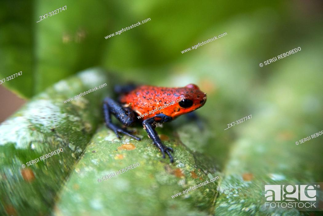 Stock Photo: Strawberry poison-arrrow frog, red-and-blue poison-arrow frog, flaming poison-arrow frog, Blue Jeans Poison Dart Frog (Dendrobates pumilio), sitting on a leaf.