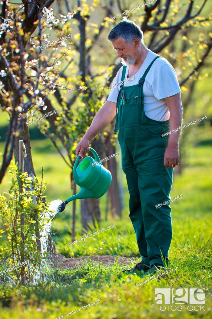 Stock Photo: watering orchard/garden - portrait of a senior gardener.