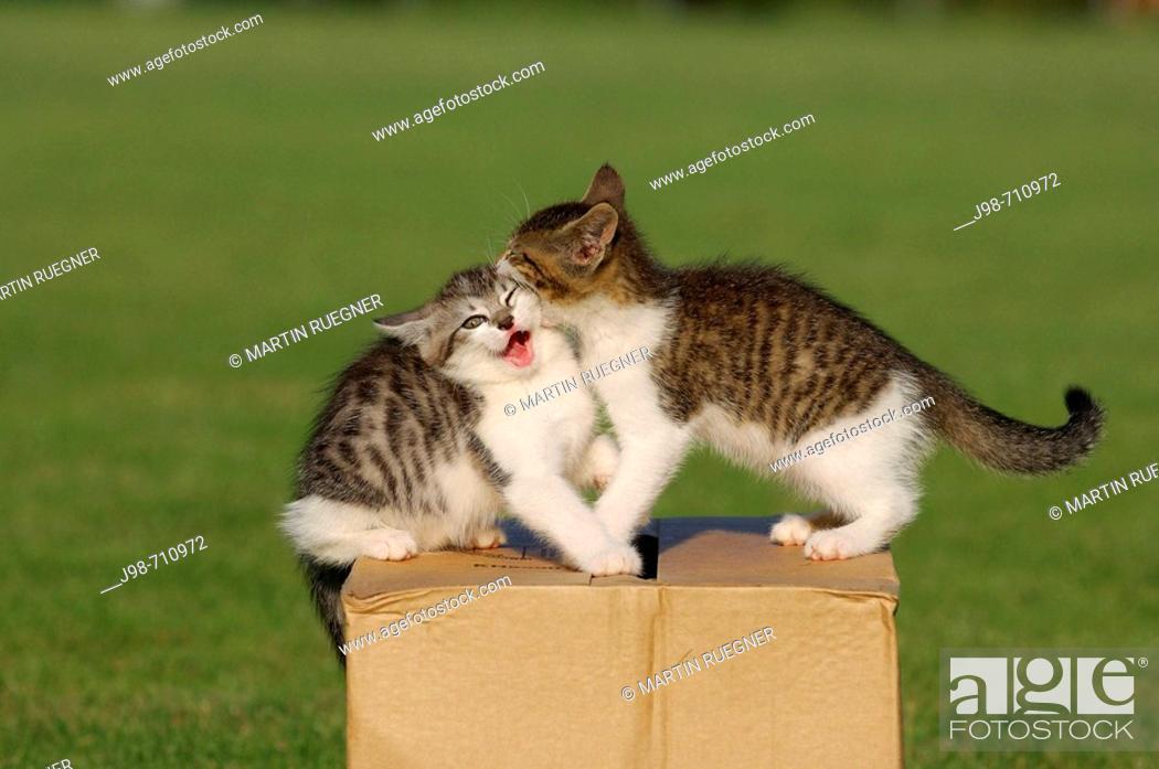 Stock Photo: Two kitten playing  Bavaria, Germany, Europe.