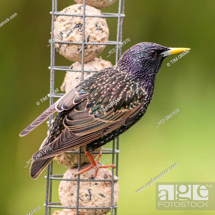 Stock Photo: A Starling (Sturnus vulgaris) on a feeder in Uk.
