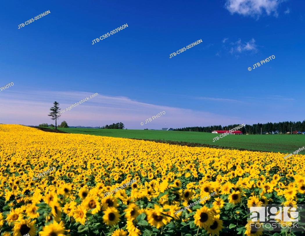 Stock Photo: Sunflower field Memanbetsu Hokkaido Japan Flower garden Blue sky Clouds Red roof Tree Prairie.