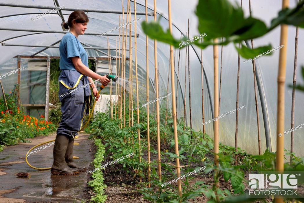 Stock Photo: Trinity Organic Farm, Nottinghamshire - trainee gardener watering tomato plants in polytunnel.