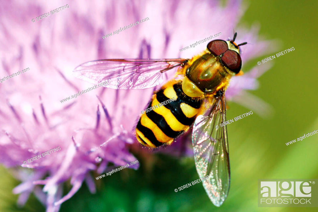 Stock Photo: A whasp-like or bee-like hoverfly (Syrphus ribesii) searching for pollen on lilac flower.
