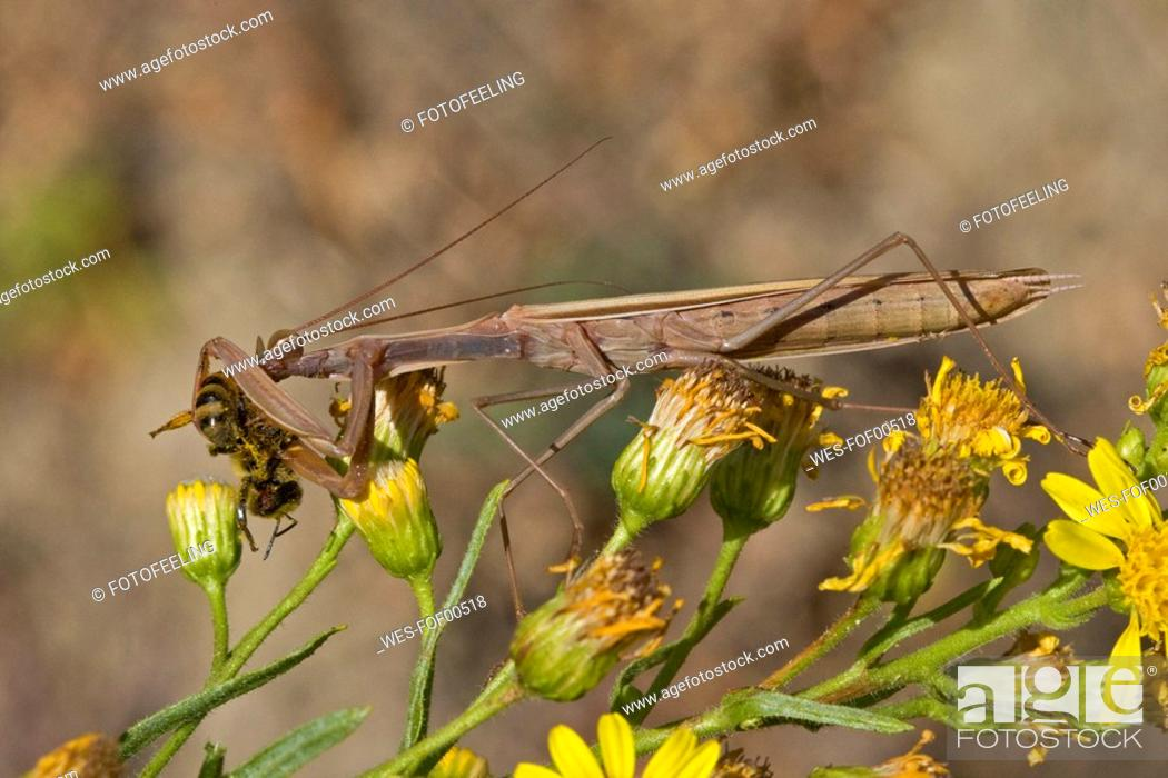 Stock Photo: Praying Mantis Mantis religiosa, close-up.