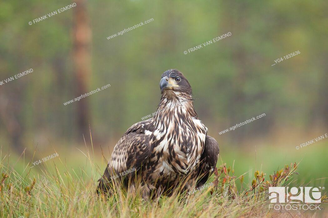 Stock Photo: White-tail Eagle Haliaeetus albicilla  Estonia.