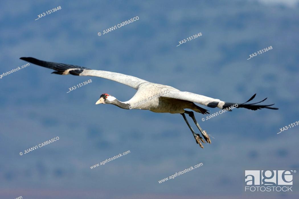Stock Photo: Common crane, Grus grus, in flight, Gallocanta, Teruel, Spain.