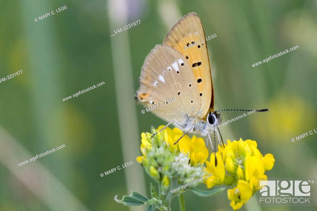 Stock Photo: Scarce Copper, Lycaena virgaureae, a showy copper butterfly with white markings on the back underwing, The upperwings can be fiery copper in sunlight.