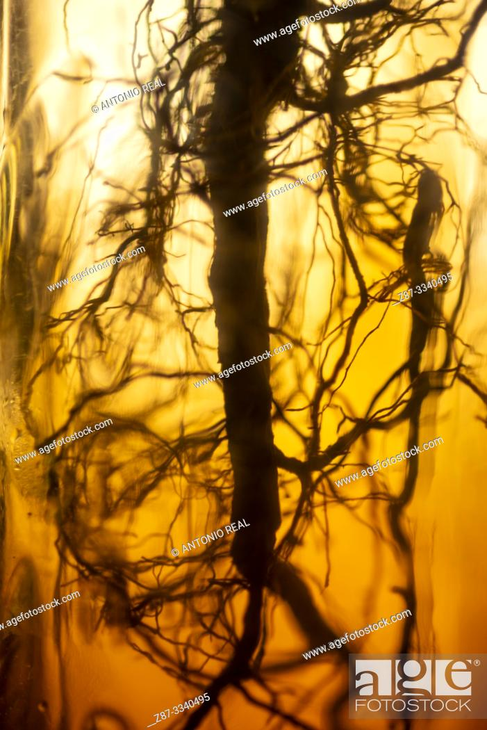 Photo de stock: Thyme roots.