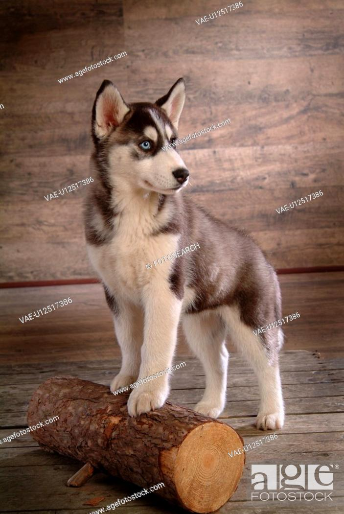 Stock Photo: cute, husky, loving, canines, domestic, house pet, siberian husky.