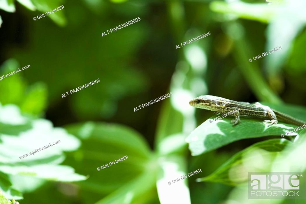 Stock Photo: Lizard on leaf.