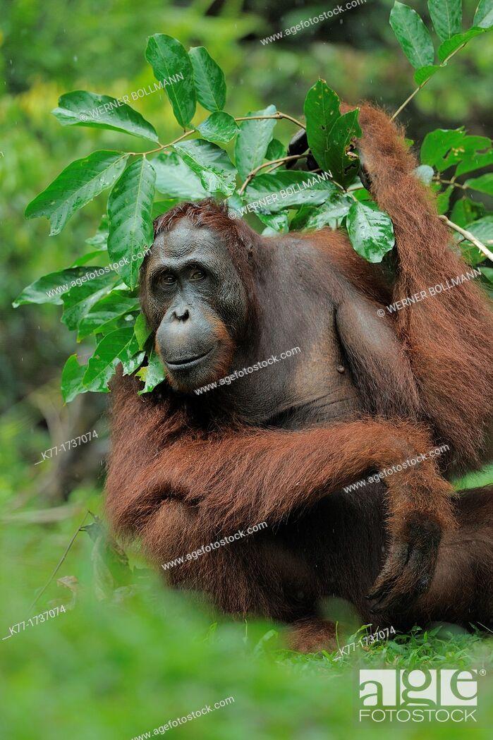 Stock Photo: Orang Utan, using a leaved branch as umbrella Pongo pygmaeus, Tanjung Puting National Park, Province Kalimantan, Borneo, Indonesia.