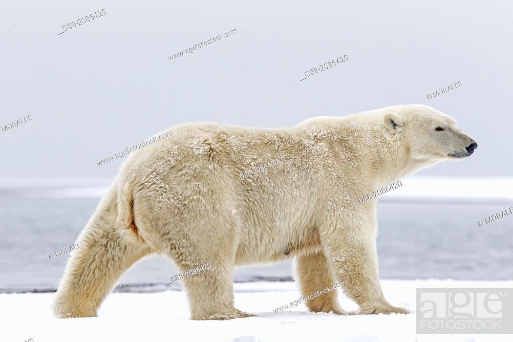 Stock Photo: United States , Alaska , Arctic National Wildlife Refuge , Kaktovik , Polar Bear( Ursus maritimus ) , adult female , along a barrier island outside Kaktovik.