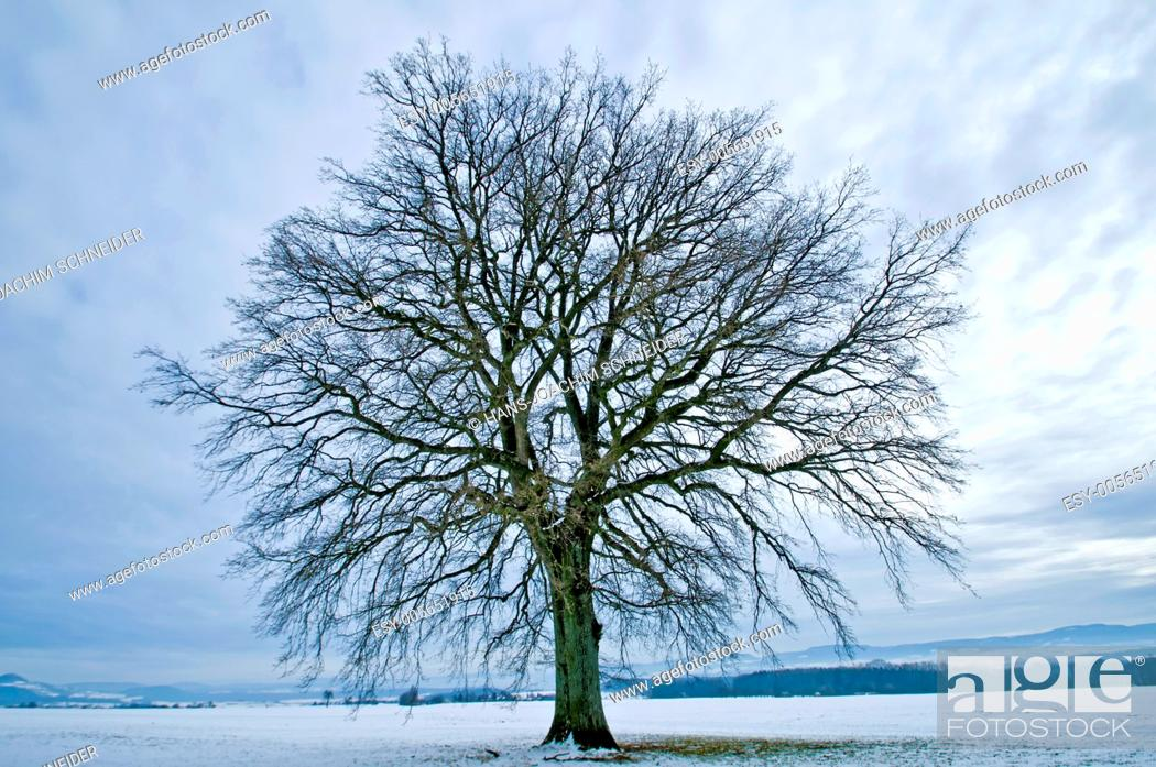 Stock Photo: oak in winter on a field in Germany.