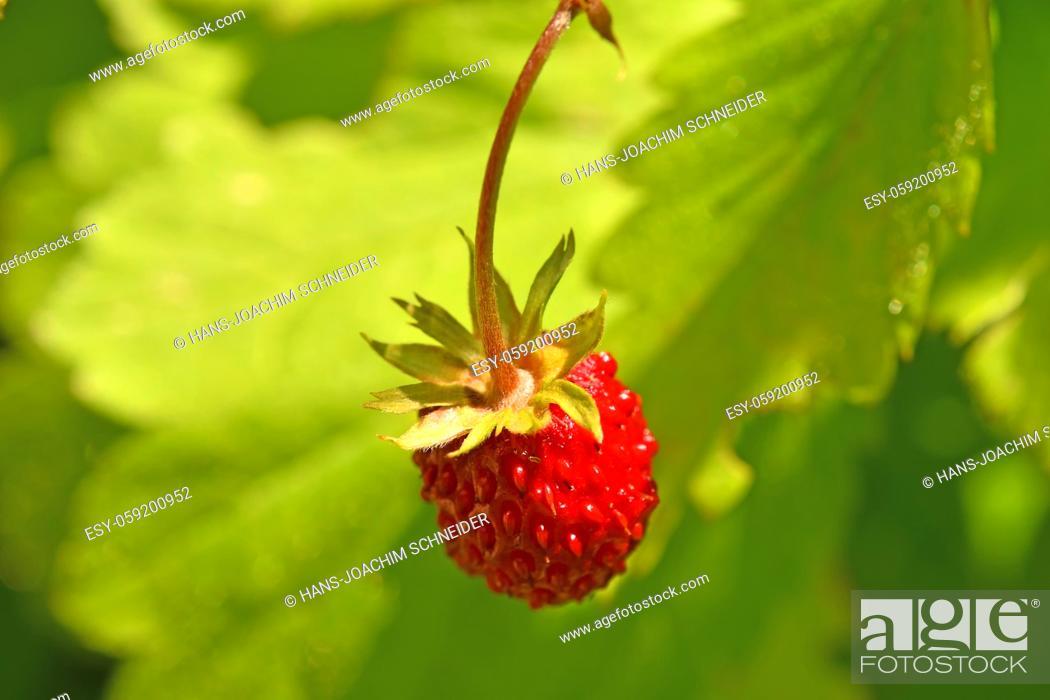 Stock Photo: wild strawberry in summertime.