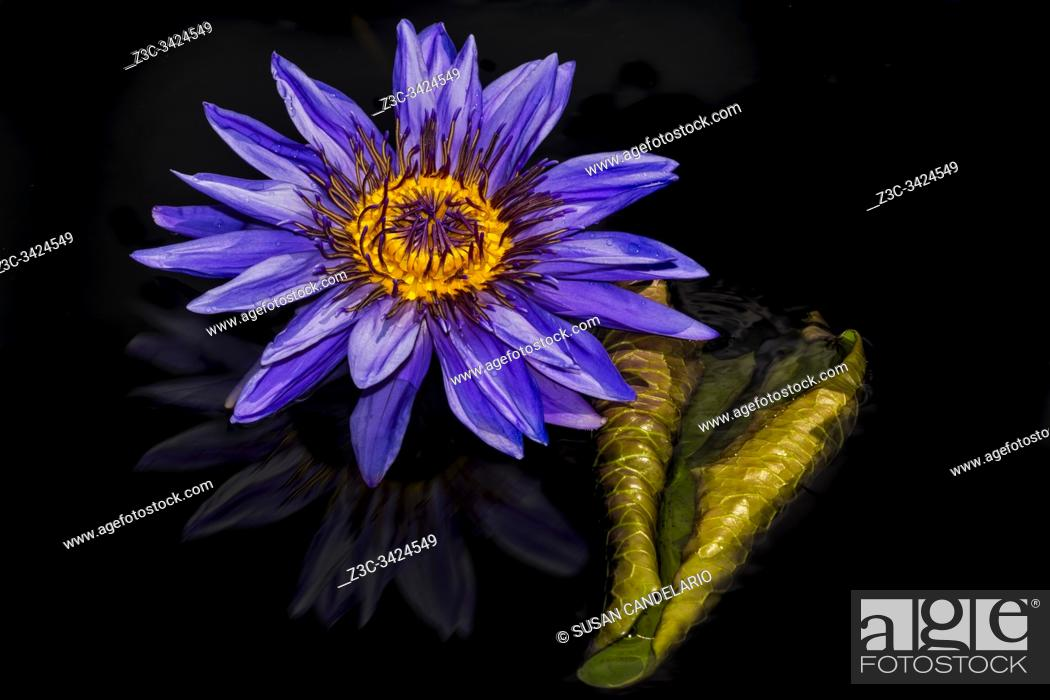 Stock Photo: Nymphaea Aquarius Waterlily.