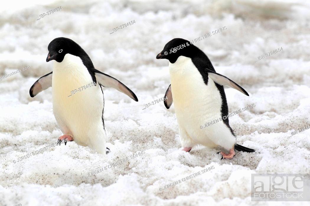 Imagen: Adélie Penguins (Pygoscelis adeliae), couple walking in the snow, Devil Island, Antarctica.