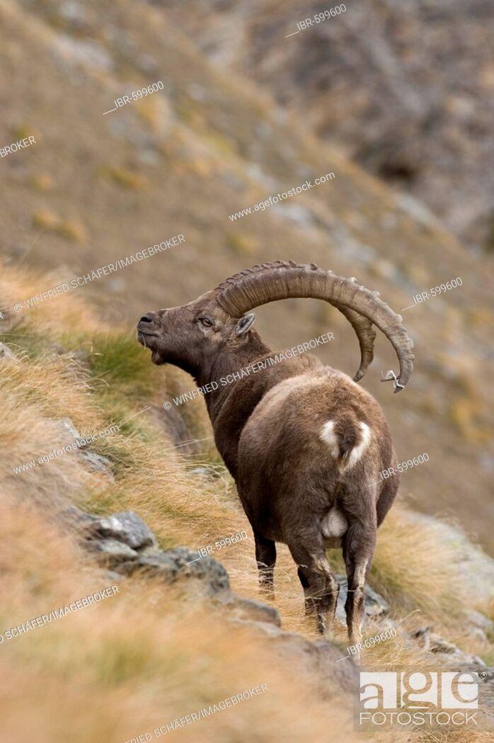Stock Photo: Alpine Ibex (Capra ibex) in rocky mountainous landscape, National Park Gran Paradiso, Italy.