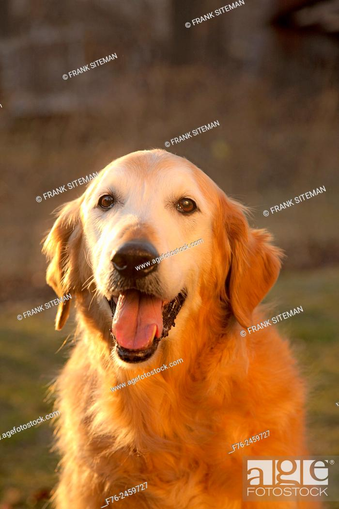 Stock Photo: 13 year old golden retriever male dog sitting in the glow of the setting sun.
