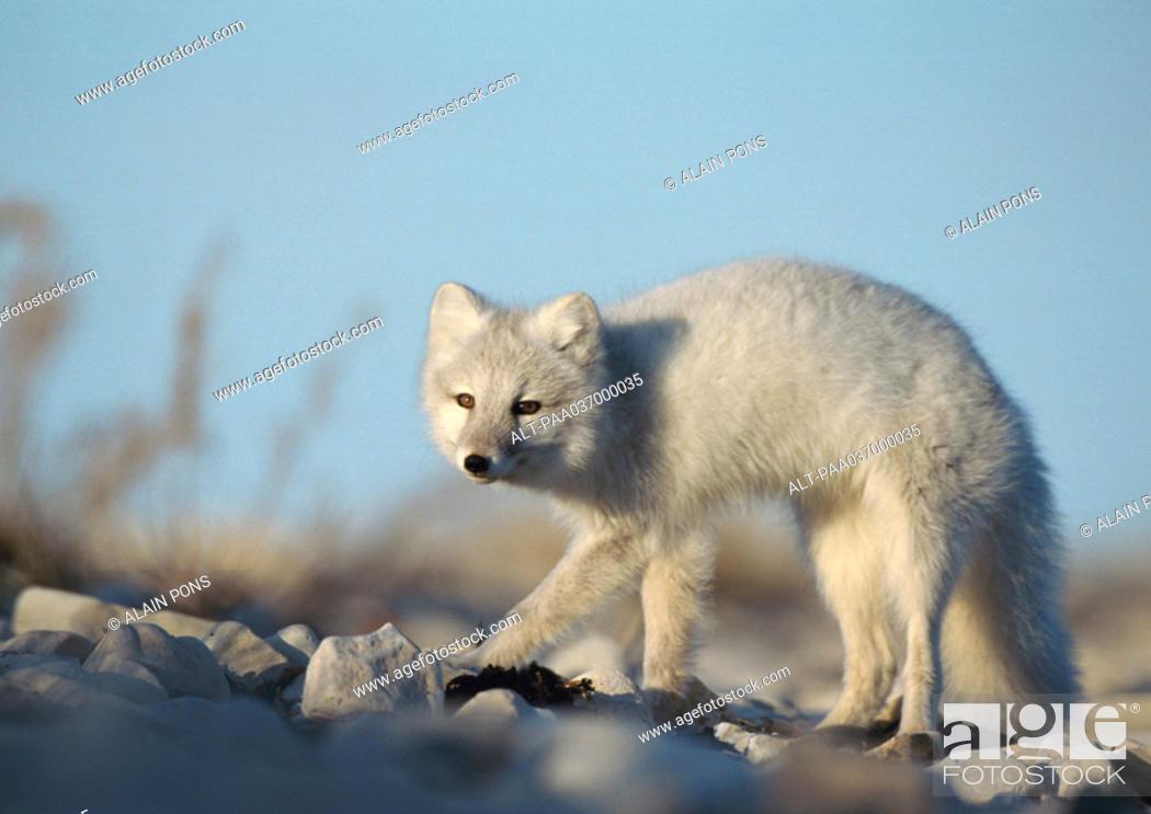 Stock Photo: Canada, arctic fox.