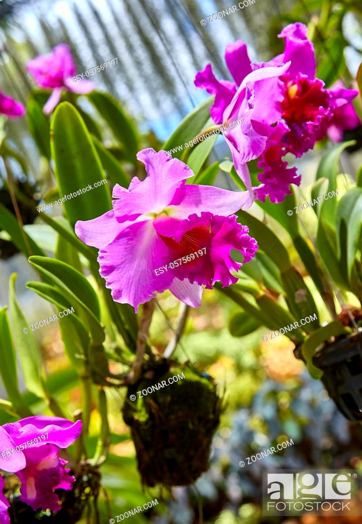 Stock Photo: Purple orchids, Violet orchids. Orchid is queen of flowers. Orchid in tropical garden. Orchid in nature scarlet white yellow.