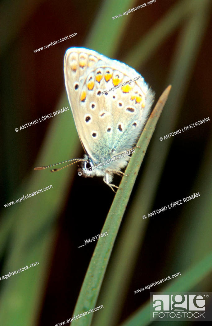 Stock Photo: Common Blue Butterfly (Polyommatus icarus).