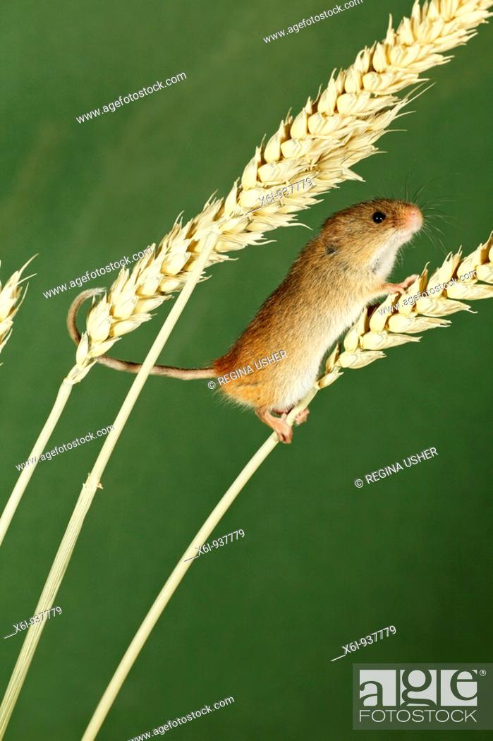 Stock Photo: Harvest Mouse Micromys minutus - climbing using prehensile tail, between wheat stalks.