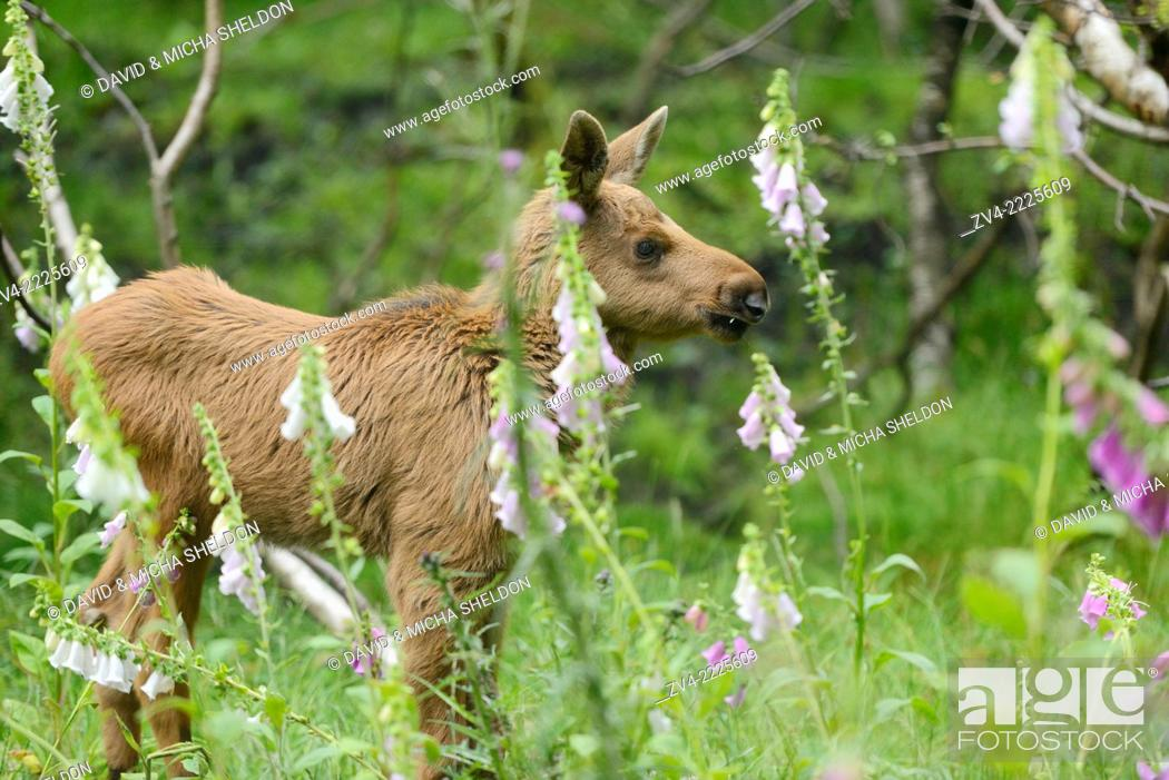 Stock Photo: Eurasian elk (Alces alces) youngster in a forest in early summer.