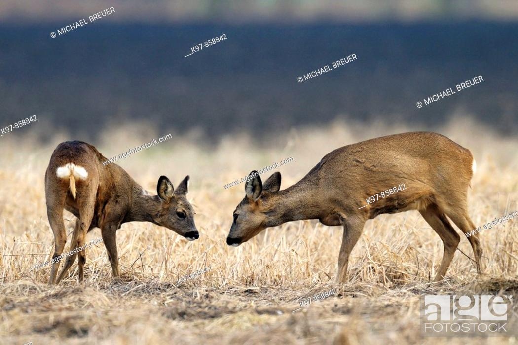 Stock Photo: Roe deers (Capreolus capreolus), Winter, Germany, Europe.