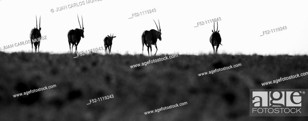 Stock Photo: Oryx, Solio Ranch Reserve, Kenya.
