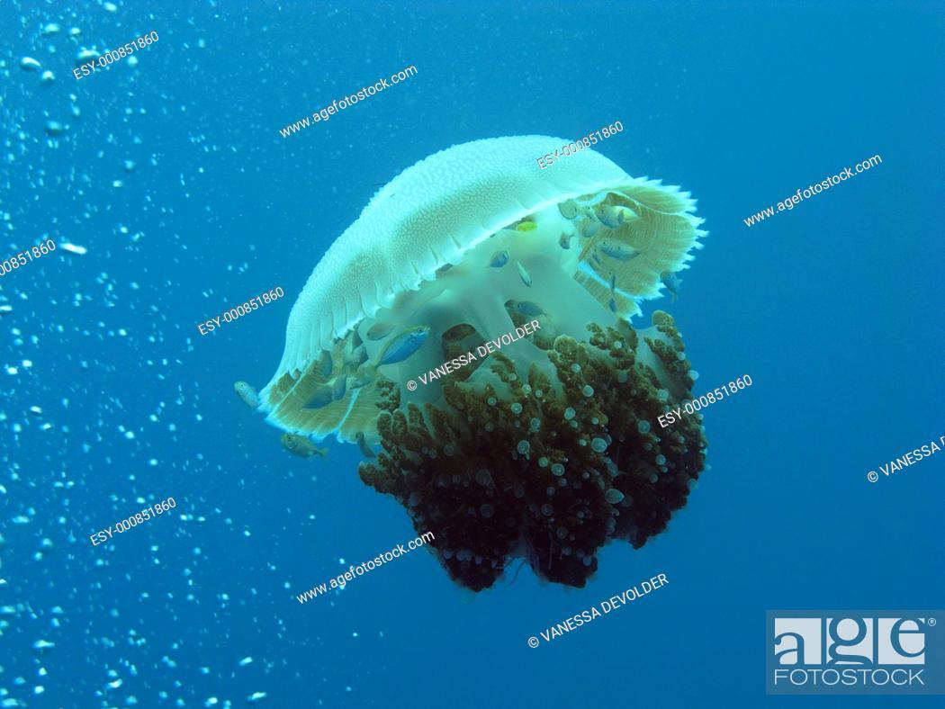Imagen: Jellyfish in the Andaman See, Thailand, near Ko Lipe.