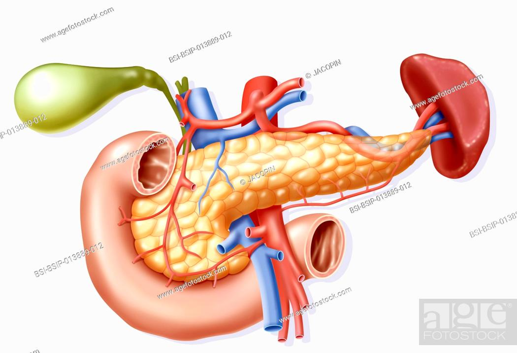 Illustration Of The Blood Supply To The Pancreas And Its