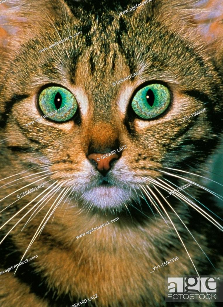 Stock Photo: Brown Tabby Domestic Cat, Portrait of Adult with Green Eyes.