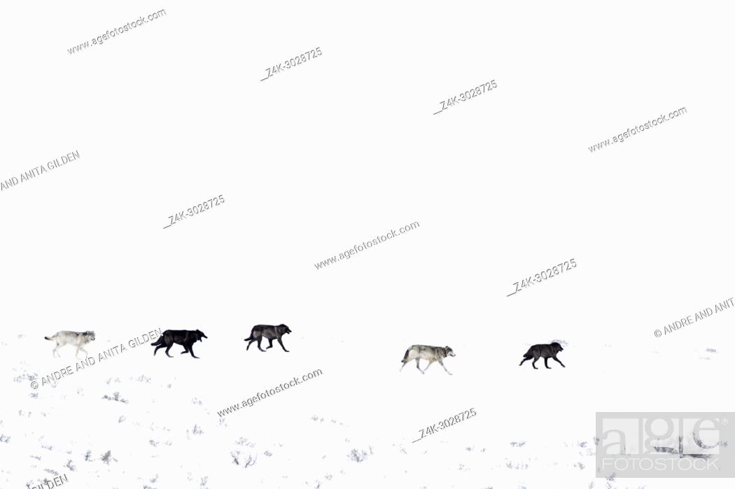 Stock Photo: Gray Wolf (Canis lupus) pack running in snow on mountainridge, Lamar valley, Yellowstone national par, Wyoming Montana, USA.