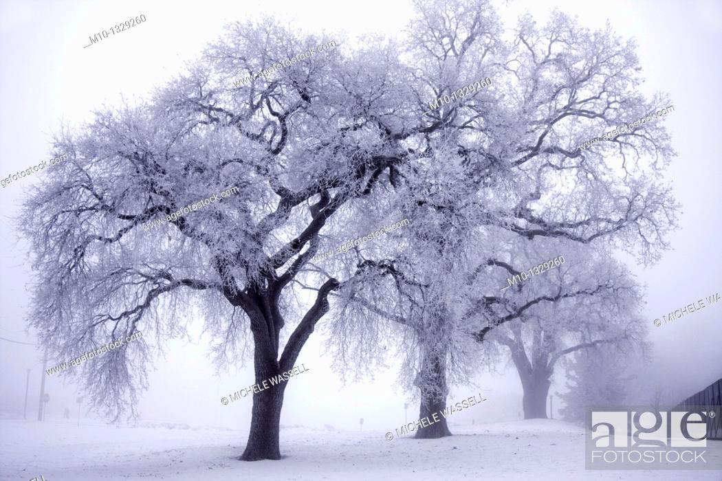 Stock Photo: Oak trees in the fog in Tehachapi, Bear Valley Springs, California.