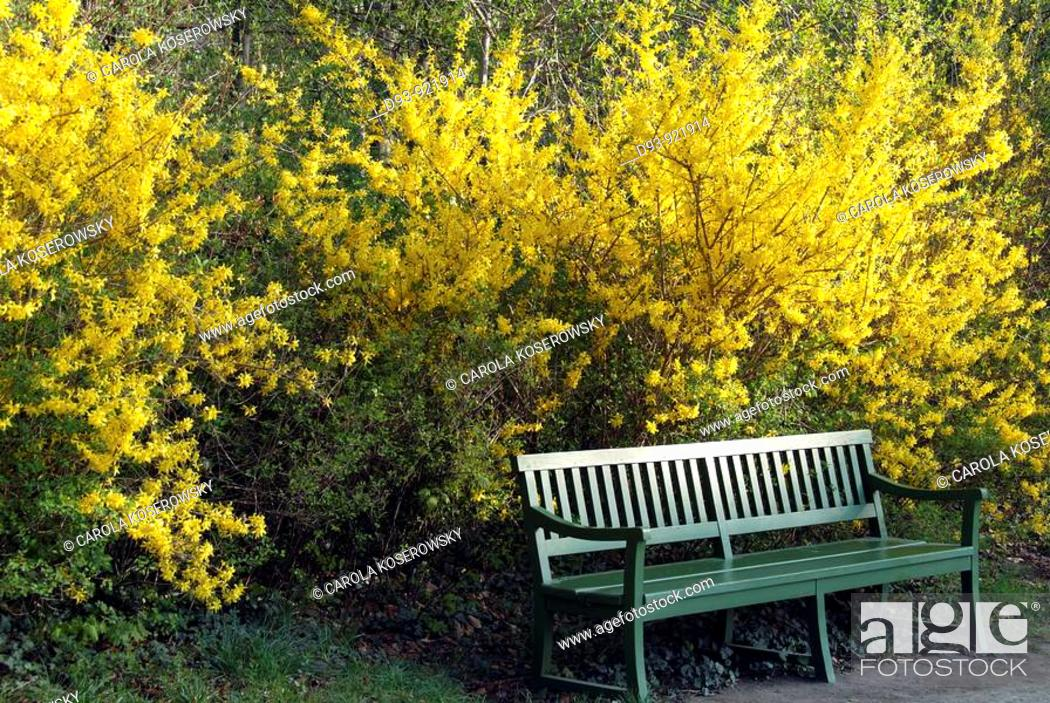 Stock Photo: Natrue; Spring; Seat; Bench; Blossom; Forsythia.