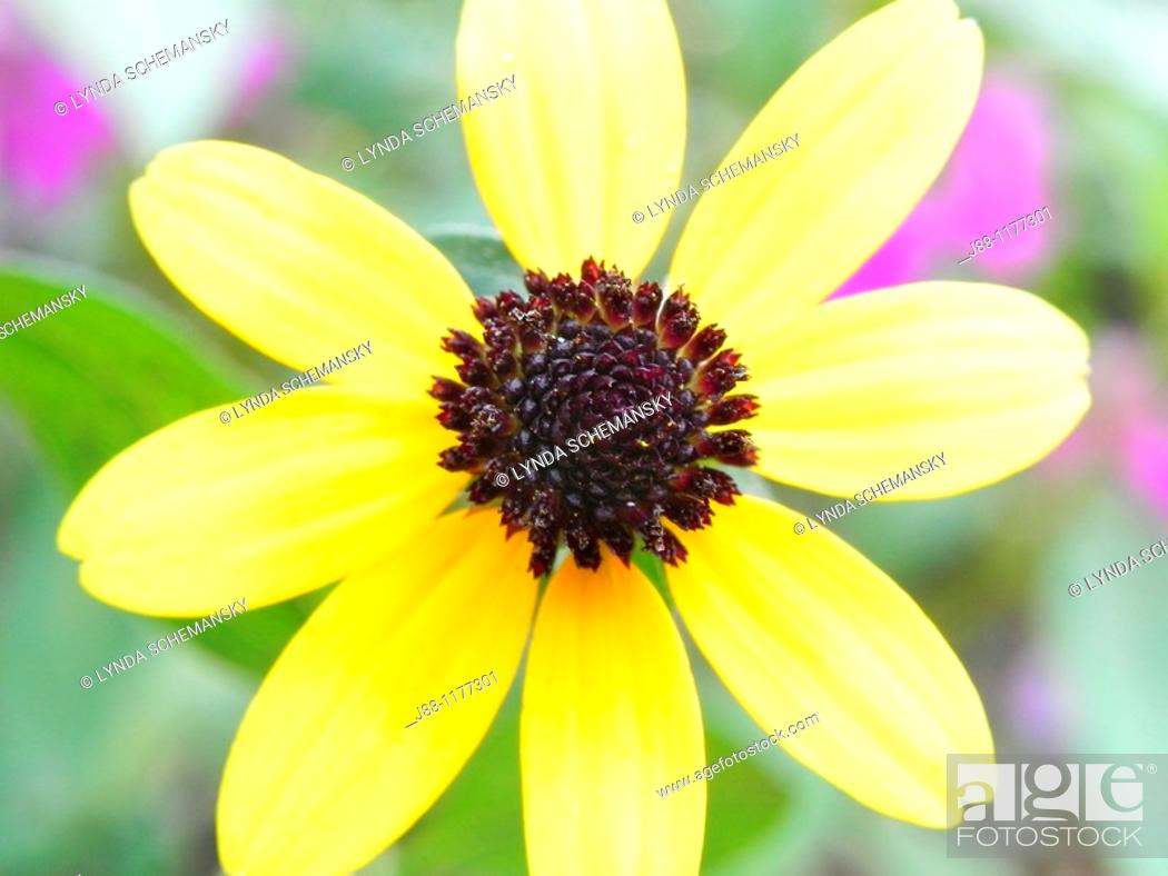 Stock Photo: Black eyed Susan rudbeckia sp  flower.