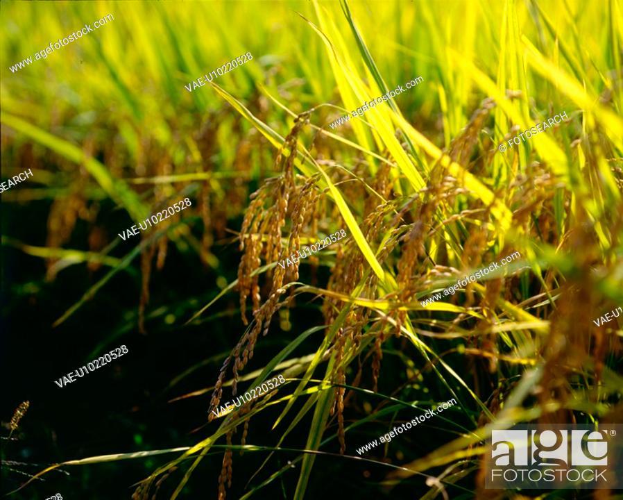 Stock Photo: rice, fall, rice field, rural area, autumn, ear, season.
