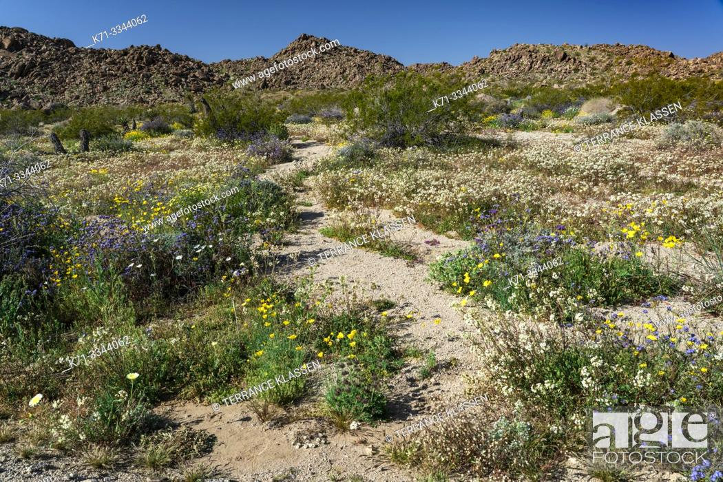 Imagen: Spring wildflowers blooming in Joshua Tree National Park, California, USA.
