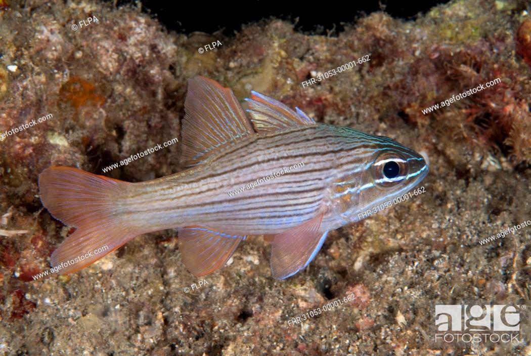 Stock Photo: Many-lined Cardinalfish (Ostorhinchus multilineatus) adult, swimming, Lembeh Straits, Sulawesi, Sunda Islands, Indonesia, September.