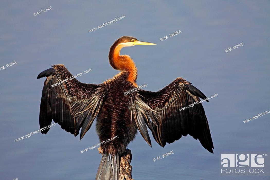 Stock Photo: African darter (Anhinga rufa), sitting on a pole and dries the wings, plumage grooming, South Africa, Pilanesberg National Park.