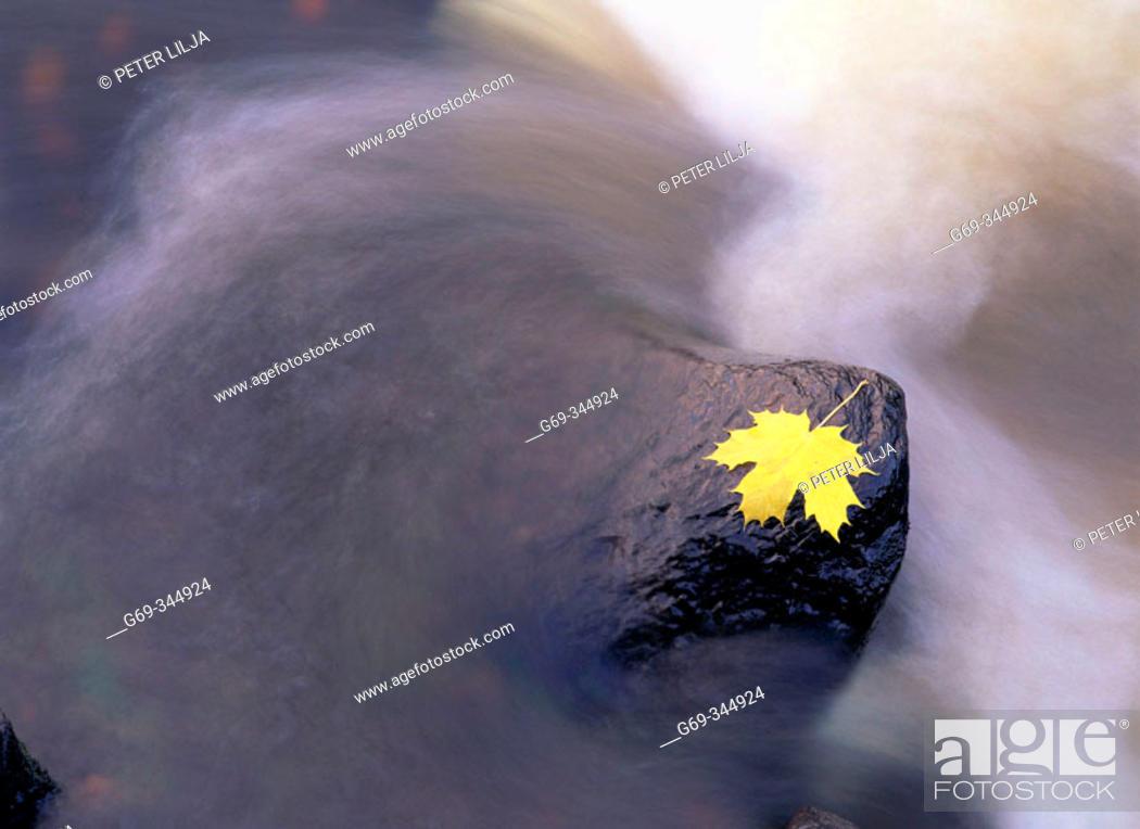 Stock Photo: Autumn coloured Maple leaf and streamy water. Karsbacken, Västerbotten, Sweden.