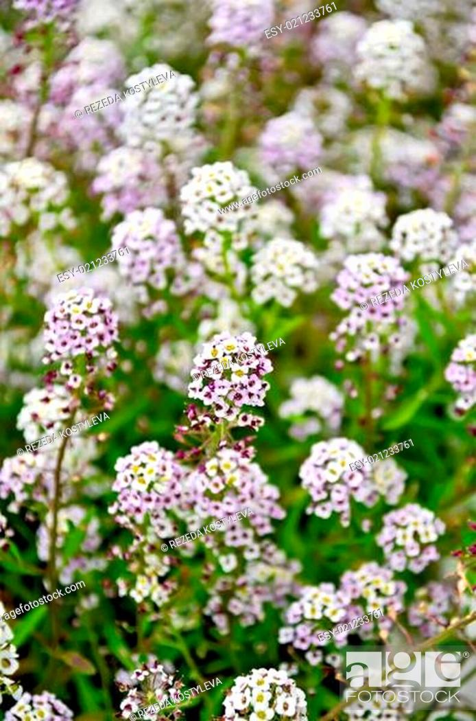Stock Photo: Alyssum white and lilac flower on a lawn on a background of green leaves.