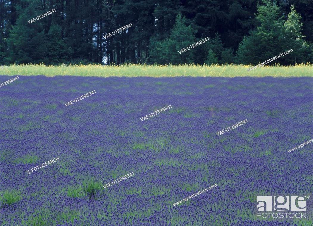 Stock Photo: Field Of Lavender.
