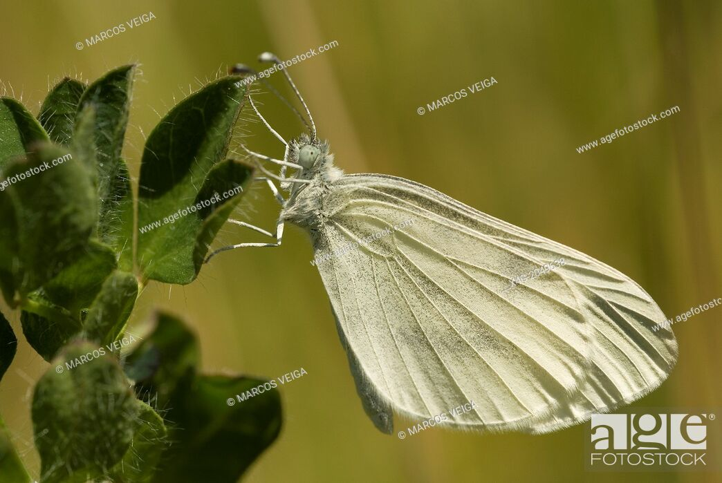 Stock Photo: Wood White Butterfly Leptidea sinapis. Spain.
