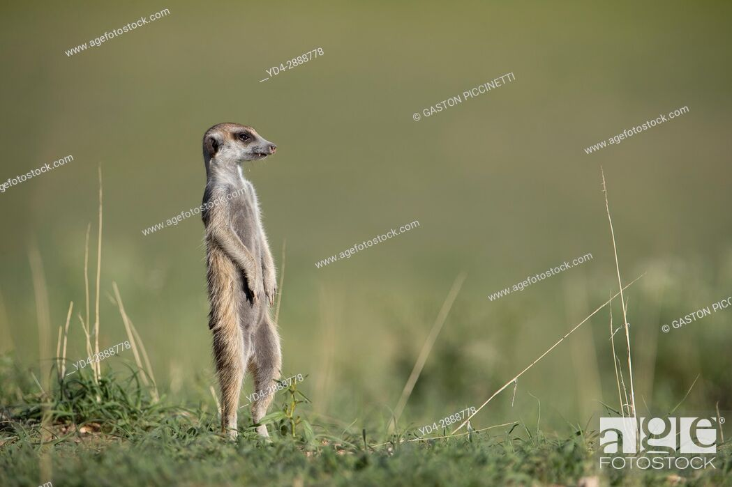 Imagen: Suricate (Suricata suricatta), watching. Always alert to the possible attack of a predator. While watching the rest of the group is dedicated to hunt all kinds.