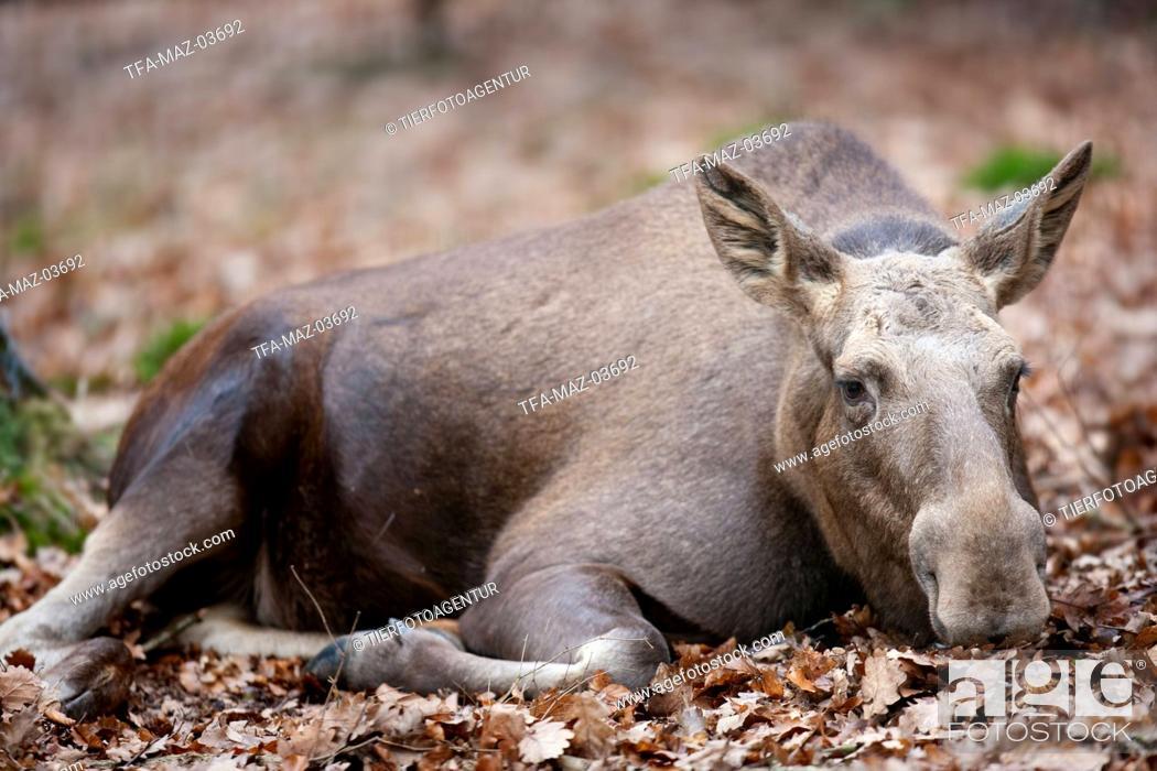 Stock Photo: elk.