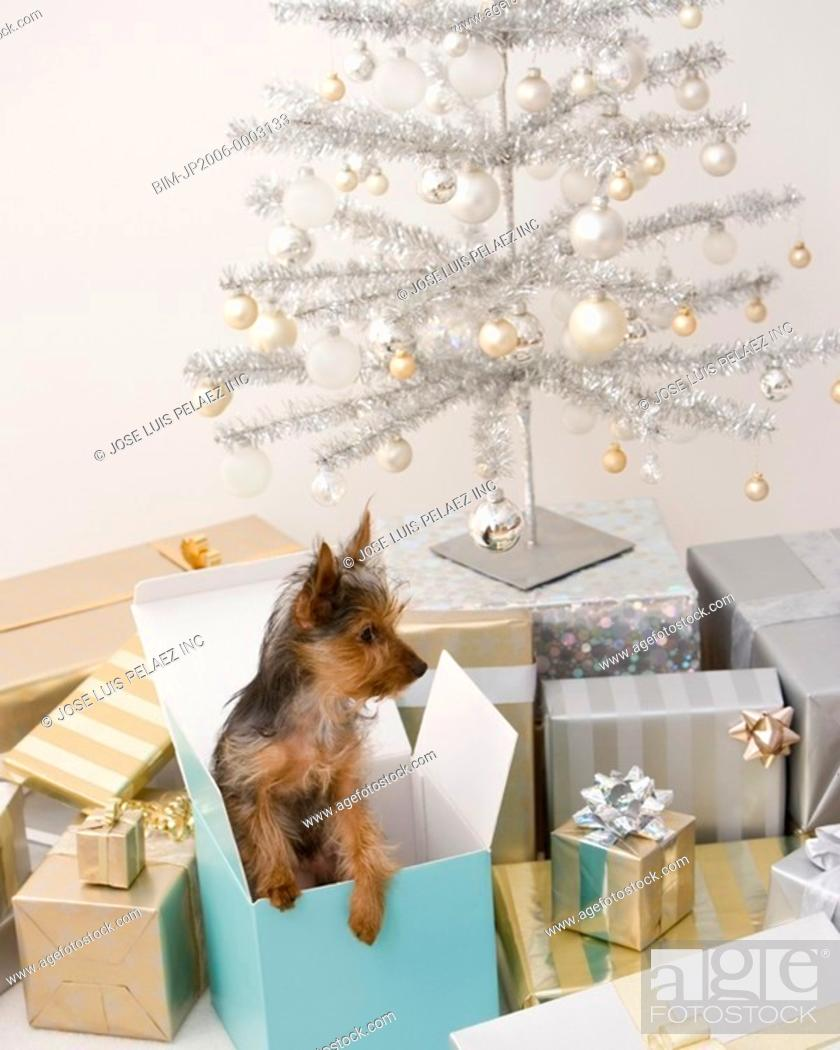 Stock Photo: Yorkshire Terrier puppy in gift box next to Christmas tree.