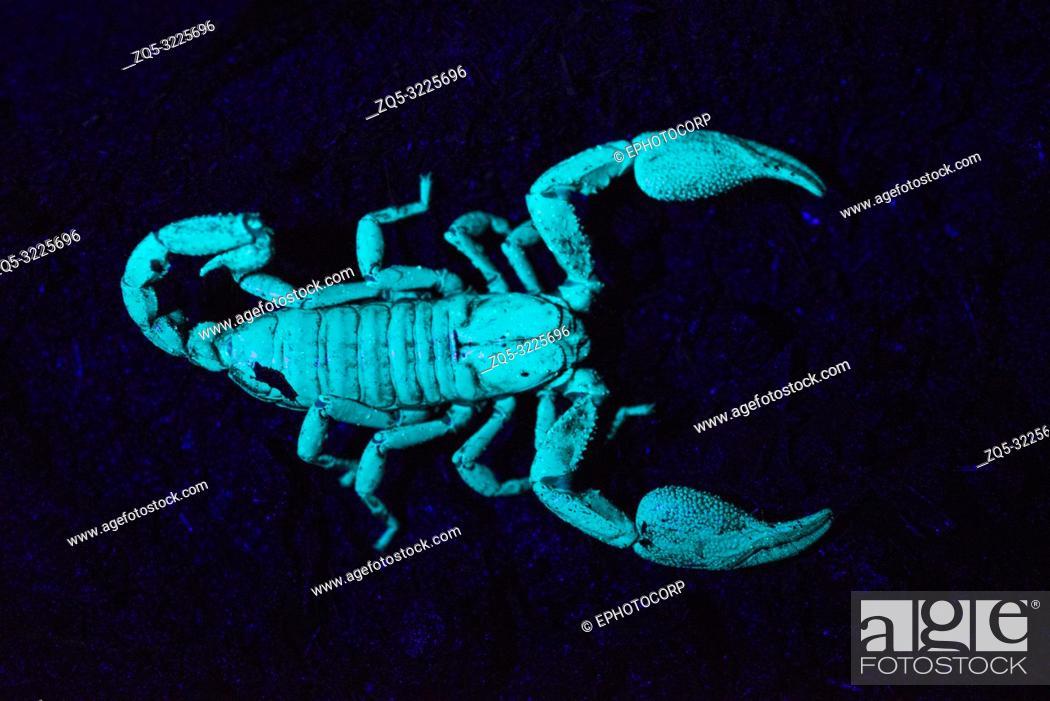 Imagen: Scorpion under UV light, Scorpiones, Matheran, Maharashtra, India.