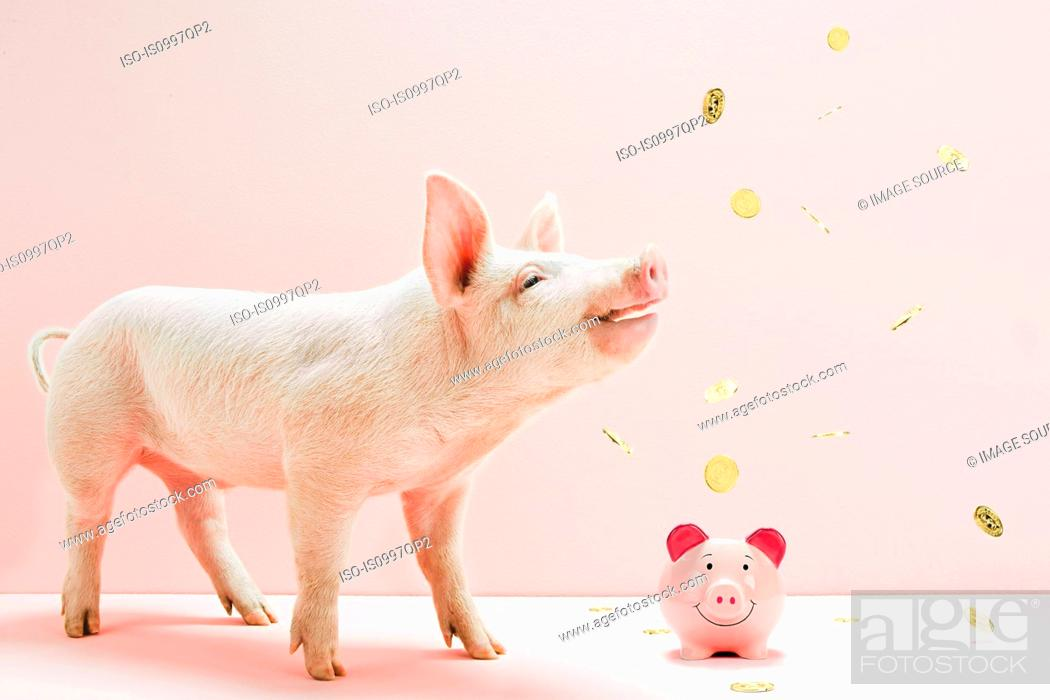 Stock Photo: Piglet looking at falling coins over piggybank in studio.